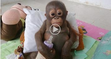 لماذا تعاطف العالم مع القرد بودي؟