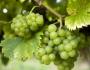 اكتشفوا فوائد بذور العنب