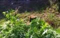 معلمة من الشمال مشبوهة باستيراد وزراعة الماريحوانا في ساحة بيتها