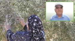الخبير الزراعي مصطفى الناطور يطئمن: الطقس الحار لن يؤثر على اشجار الزيتون