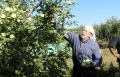 اليوم، التفاح الجولاني يسوق في سوريا