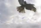 صقر ينقض على طائرة بدون طيار