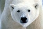 مملكة الغابة - الدب الابيض
