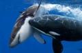 فيلم وثائقي خلق ليفترس .. الحوت القاتل