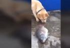 كلب يحاول انقاذ أسماك من الموت