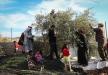 فيديو وصور: زيتون فلسطين في مرمى النيران