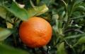 عشر فوائد رائعة لفاكهة اليوسفي  المندلينا