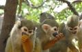 من يسرق القرود من حديقة الحيوان في هحوتريم؟