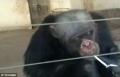 الشمبانزي في جنوب أفريقيا تتعلم أسوأ عادات البشر
