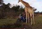زرافة تعشق الدراجات النارية