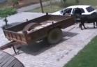 """فيديو: لحظة اختطاف """"بقرة"""" في سيارة صغيرة !"""