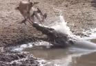 غزال يفلت من فكيّ تمساح ضخم