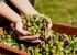 مستخلص أوراق الزيتون لبشرة نضرة وجمال طبيعي