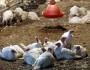 فحص إمكانية إصابة طيور حبش في مركز البلاد بأنفلونزا الطيور