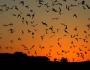 اكتشاف 16 فيروسا جديدا بالخفافيش يمكن أن تنتقل للبشر