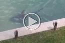 فلوريدا: سمكة قرش بحوض منزل تثير الهلع