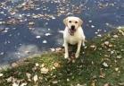 كلب مولع بالبحث عن كرات التنس في كومة من أوراق الشجر