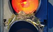 """طائر يجد في """"إشارة المرور"""" موقعاً مثالياً لبناء عشه"""