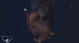 أول فيديو لـ سمكة الشيطان المخيفة حية في الأعماق