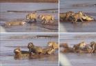 معركة شرسة بين تمساح وثلاثة أسود للفوز بجثة فيل