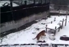 نمرة من حديقة الحيوان تتسلى بتشكيل كرات من الثلج