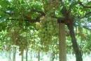 دراسة جديدة: العنب يحمى من السرطان ويعالج الإمساك