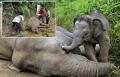 دموع فيل صغير يحاول يائساً إيقاظ أمه الميتة