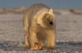 غوّاص أولمبي... هو بالاساس، دبٌ قطبي!