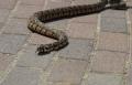 صفد: وفاة امرأة من الجولان لدغتها افعى سامة قبل اسبوع