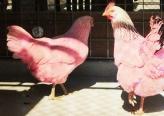 حل غموض لغز الدجاج الوردي في أمريكا