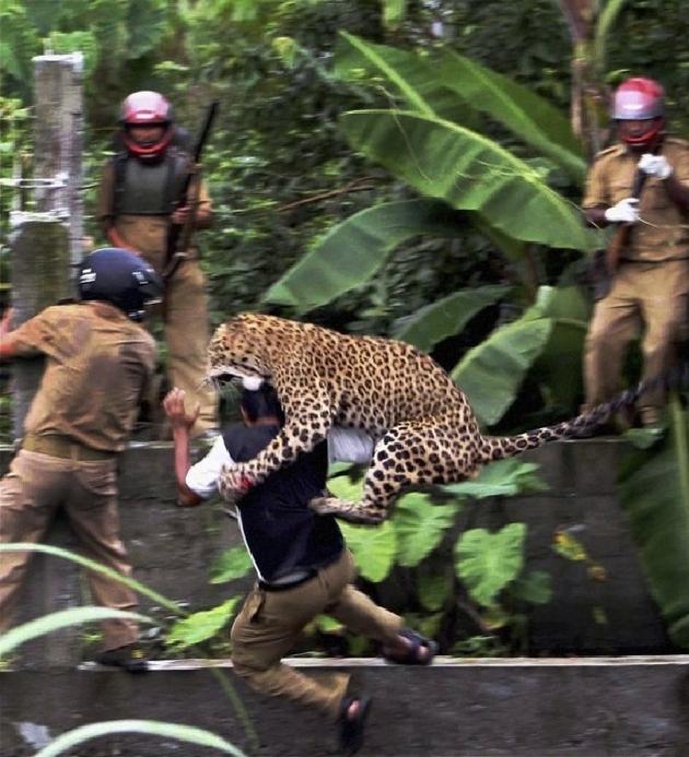 بالصور و الفيديو… فهد يهاجم ستة فلاحين في الهند 35