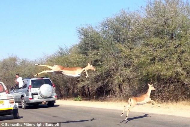 غزال يقفز داخل سيارة للسياح