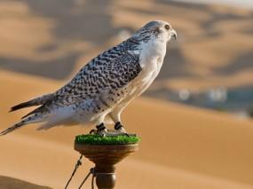 مسابقة لاختيار أجمل الصقور في الامارات 1428115671