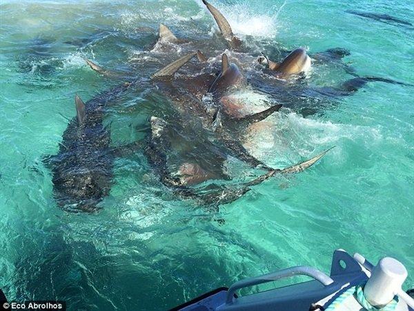 هجوم 70 قرشًا على حوت في البحر!